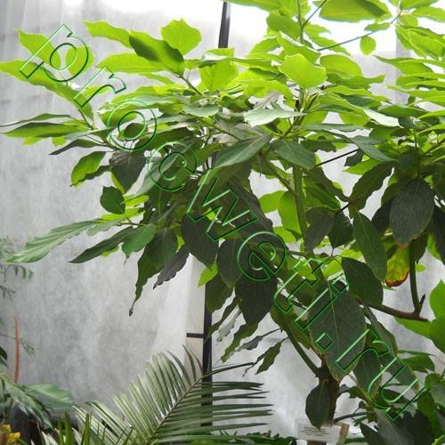 Авокадо американское