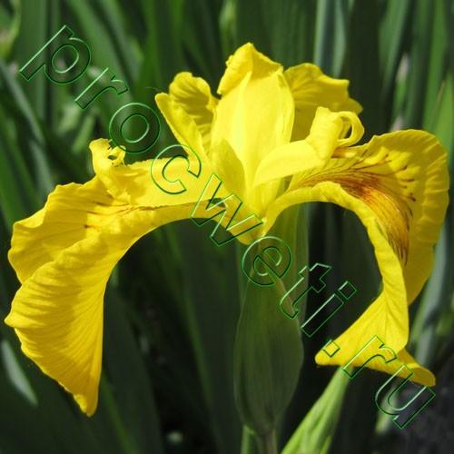 Касатик желтый