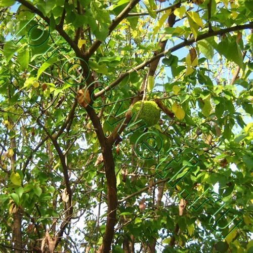 Маклюра оранжевая (яблоконосная)